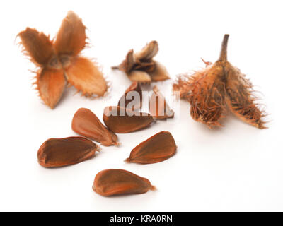 Close up of the nuts of a European beech on a white background - Stock Photo