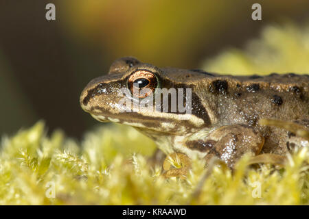 Common Frog (Rana temporaria) resting on a clump of moss on a tree stump. Thurles, Tipperary, Ireland. - Stock Photo