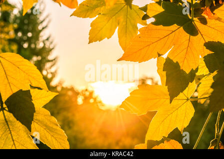 Sunshine through autumn leaves - Stock Photo