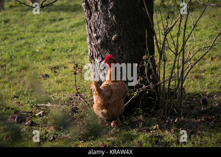 Red hen grazing in orchard next to tree - Stock Photo