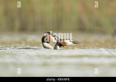 Great Crested Grebes / Haubentaucher ( Podiceps cristatus ) biting each other, territorial behaviour, attacking, - Stock Photo