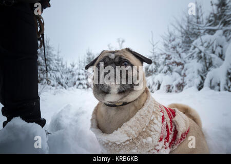 Dog (pug) with ringlet - pullover goes Walk in the snow-covered winter wood - Stock Photo