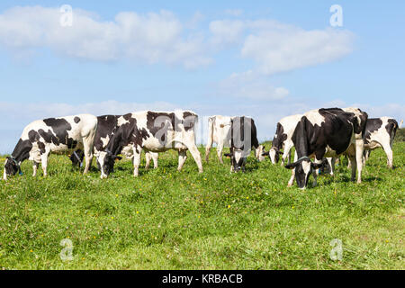 Herd of black and white Holstein dairy cattle, cows  grazing  in a lush green pasture on the skyline