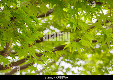 Frame filled with apple-green colored new growth of Japanese Maple leaves.  Shallow depth-of-field highlights delicate - Stock Photo