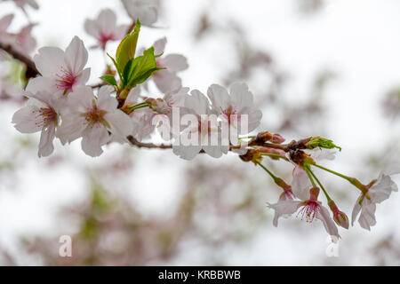 Thin branch of white cherry blossoms with cerise-pink centers, and newly sprouting green leaves, spreads across - Stock Photo