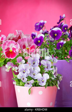 purple violet pansies red background - Stock Photo