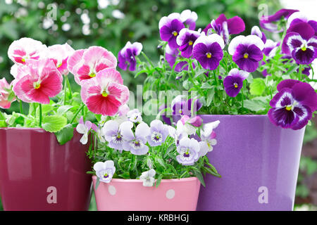 purple lilac red pansies pots balcony - Stock Photo