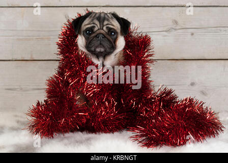 cute Christmas pug puppy dog, sitting down wrapped  in red tinsel on sheepskin, with vintage wooden background - Stock Photo