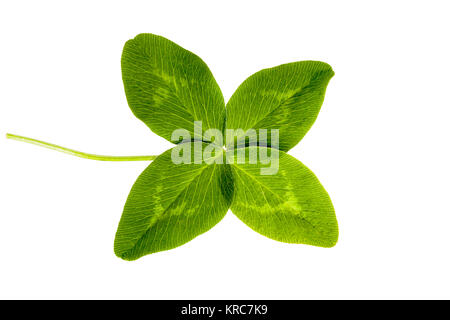 Four-leaf clover isolated on white background - Stock Photo