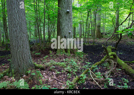 old oak tree broken branch lying in spring forest - Stock Photo
