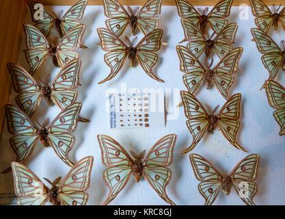 Scientific studies on butterfly MARIPOSA ISABELINA - SPANISH MOON MOTH Spanish (Graellsia isabellae), The Ports - Stock Photo