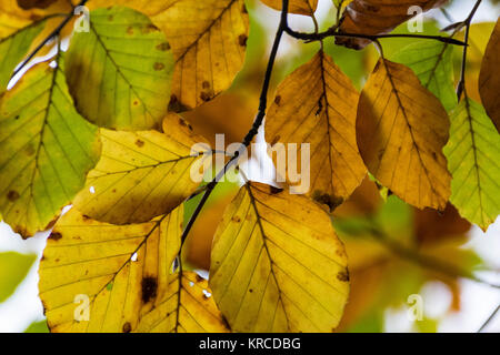 Look Up #2 – Beech Tree (Fagus sylvatica), Colourful Leaf and Branch Detail in Autumn. North Devon, England. - Stock Photo