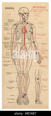 A diagram of the human body, with details of bones and arteries. Date: 1908 - Stock Photo