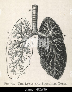 A diagram of the lungs and bronchial tubes, with a section of the windpipe. Date: 1908 - Stock Photo