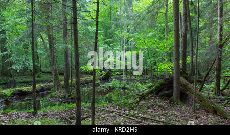 primeval forest in spring with broken trees - Stock Photo