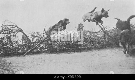 Messenger dogs destined for the British Army, being trained to jump and clear barbed wire entanglements during the - Stock Photo