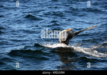 Humpback whale's tail fin breaching water, Stellwagen Bank National Marine Sanctuary, Cape Cod, massachusetts, USA - Stock Photo