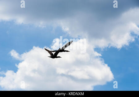 Two cormorants flying under cumulus clouds. - Stock Photo