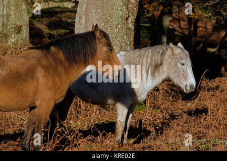 New Forest Ponies resting in forest - Stock Photo