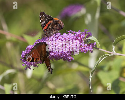 Peacock and red admirable butterfly ( atalanta, the red admiral )  on Buddleja, or Buddleia, - Stock Photo