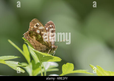 Speckled Wood Butterfly ( Pararge aegeria ) resting on a leaf - Stock Photo