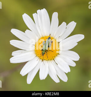 Oedemera nobilis, also known as the false oil beetle, thick-legged flower beetle or swollen-thighed beetle, on an - Stock Photo