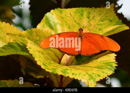 An Orange Julia butterfly lands on a plant in the gardens. - Stock Photo