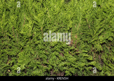 Close-up Thuja tree - Stock Photo