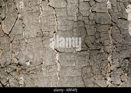 Berg-Ahorn, Bergahorn, Rinde, Borke, Stamm, Baumstamm, Ahorn, Acer pseudoplatanus, Sycamore, Erable sycomore, sycamore maple, maple, bark, rind, trunk Stock Photo
