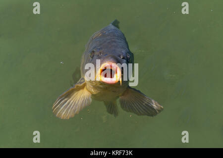Common carp breaking the surface waiting to be fed - Stock Photo