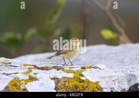 Siberian chiffchaff (Phylloscopus collybita tristis / Phylloscopus tristis) perched on rock in autumn, Sweden - Stock Photo