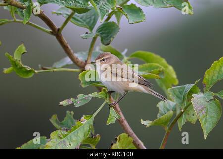 Siberian chiffchaff (Phylloscopus collybita tristis / Phylloscopus tristis) perched in tree in autumn, Sweden - Stock Photo