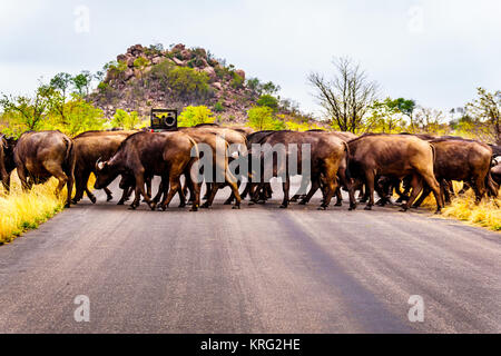 Herd of Water Buffalos crossing the road in Kruger National Park in South Africa - Stock Photo
