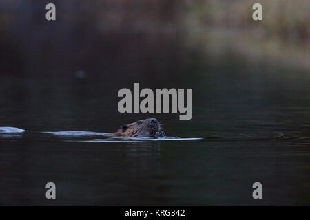 MAYNOOTH, HASTINGS HIGHLANDS, ONTARIO, CANADA - November 13, 2017: A North American Beaver (Castor Canadensis). - Stock Photo