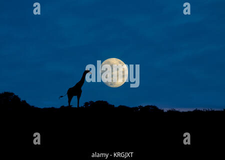 Angolan giraffe Giraffa giraffa angolensis known as Namibian giraffe at moonrise northern Namibia - Stock Photo