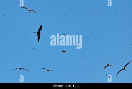 Magnificent frigate birds in flight, Fregata magnificens, Isla Isabel, Mexico - Stock Photo
