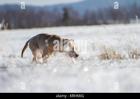 American Pit Bull Terrier male dog (Canis lupus familiaris) running on a meadow in the snow - Stock Photo