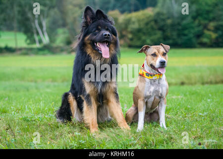 Dog friends - German Shepherd dog and American Staffordshire Terrier - Stock Photo