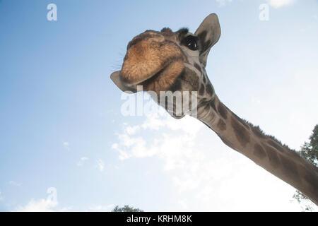 Rothschild giraffe at the Giraffe Centre, Nairobi, Kenya, East Africa - Stock Photo