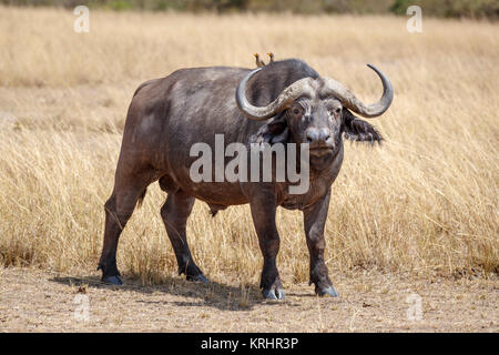 Large bull (male) adult Cape buffalo, Syncerus caffer, one of the Big 5, in long grass in savannah in Masai Mara, - Stock Photo