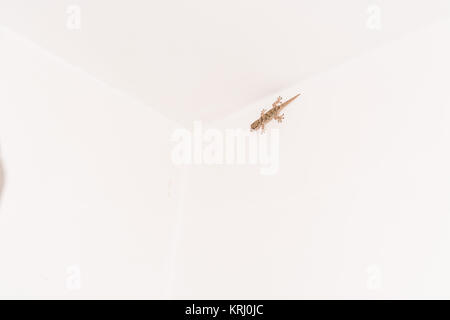 gekko against white background - Stock Photo
