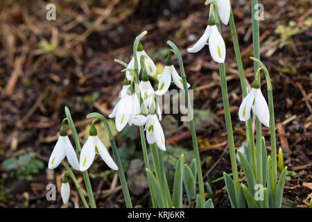 Yellow marked petals pf the unusual, late Autumn to early winter flowering giant snowdrop, Galanthus elwesii var. - Stock Photo