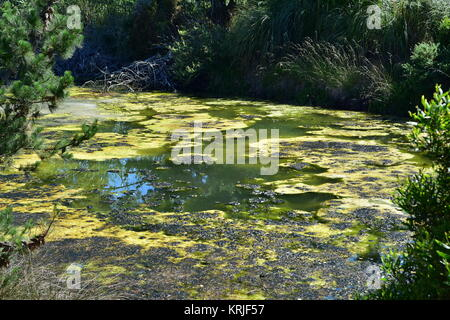 Strong algal bloom in small pond among greenery. - Stock Photo