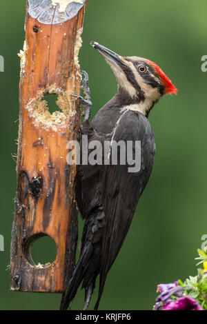 Female Pileated Woodpecker eating from a log suet feeder in Issaquah, Washington, USA - Stock Photo