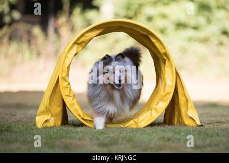 Dog Shetland Sheepdog, Sheltie, running in agility tunnel - Stock Photo