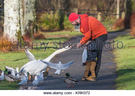 Man feeding a White Mute Swan as it takes food from his hand in Winter in West Sussex, England, UK. - Stock Photo