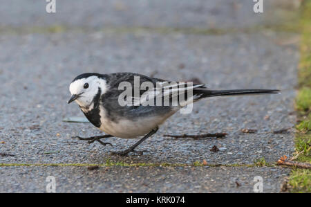 Adult Pied Wagtail bird (Motacilla alba yarrellii) on the ground in Winter in West Sussex, England, UK. - Stock Photo