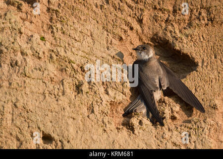Sand Martin / Bank Swallow ( Riparia riparia ) perched at the sand wall of a river bank, stretching its wings to - Stock Photo