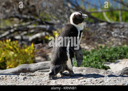 Penguins colony on Boulders Beach, Simon's Town near Cape Town, South Africa. - Stock Photo