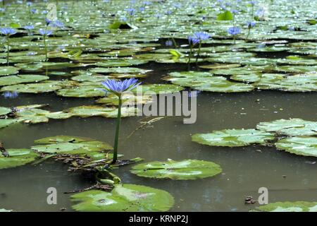 Purple waterlily flowers in freshwater pond. Waterlily flowers are native to the temperate and tropical climates. - Stock Photo